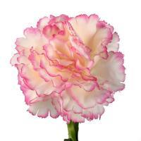 Гвоздика двухцветная бело-розовая