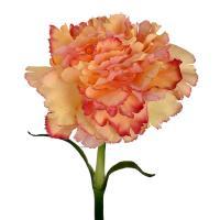 Гвоздика декоративная персикового цвета